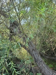 Salix nigra by Bailey Coffelt