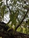 Salix alba by Amber Steele