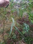 Salix nigra by Daniel Petty