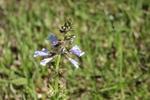 Salvia lyrata by Bailey Coffelt