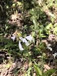 Salvia lyrata by Cole Long