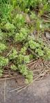 Scleranthus annuus by Alyssa McElroy