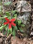 Sidneya tenuifolia by Dakota Smith