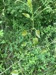 Smilax rotundifolia by John Gadberry