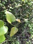Smilax rotundifolia by Devin Deaton