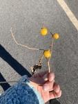 Solanum carolinense by Kami Ward