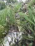Sonchus oleraceus by Richard Bailey Atkinson