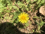 Taraxacum officinale by Cole Long