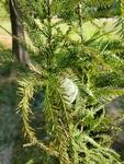 Taxodium distichum by Bailey Coffelt