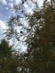 Taxodium distichum by Caitlin Goldtrap