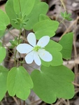 Thalictrum thalictroides by David Henderson