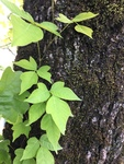 Toxicodendron radicans by Creed Chapman