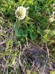 Trifolium repens by Alejandra Mendez