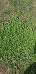 Trifolium repens by Alyssa McElroy