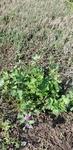 Trifolium pratense by Alyssa McElroy
