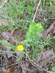 Trifolium campestre by Clay Williams
