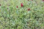 Trifolium incarnatum by Bailey Coffelt