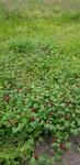 Trifolium incarnatum by Alyssa McElroy