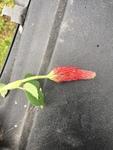 Trifolium incarnatum by Clay Williams