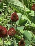 Trifolium incarnatum by David Henderson