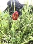 Trifolium incarnatum by Ethan Stokes