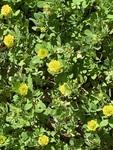 Trifolium campestre by David Henderson