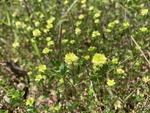 Trifolium campestre by John Gadberry