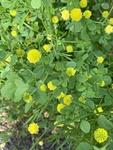 Trifolium campestre by Noah Balkman