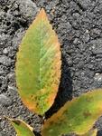 Ulmus crassifolia by Kami Ward