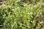 Valerianella radiata by Bailey Coffelt
