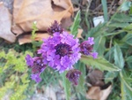 Verbena rigida by Lily Knight