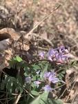 Vicia caroliniana by Dakota Smith