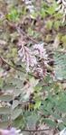 Vicia caroliniana by Alyssa Mostrom