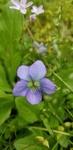 Viola missouriensis by Alyssa Mostrom
