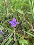 Viola sororia by John Gadberry