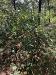 Vitis rotundifolia by John Gadberry