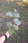Vitis rotundifolia by Brittany Edwards