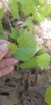 Vitis rotundifolia by Alyssa Mostrom