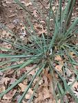 Yucca filamentosa by Noah Balkman