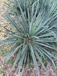 Yucca arkansana by Lily Knight